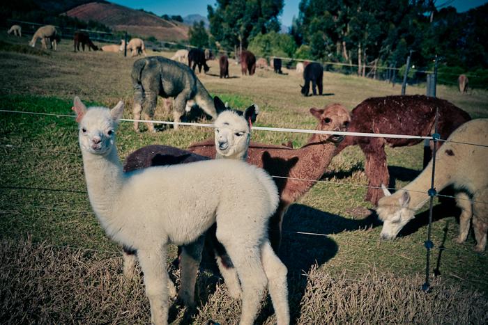 alpaca loom-5