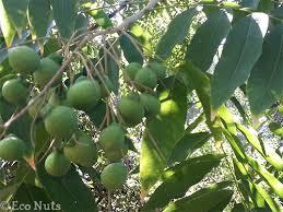 soapnuts green