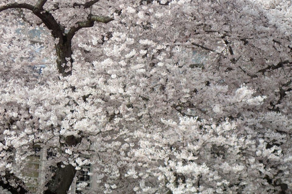 Cherry blossoms, University of Washington