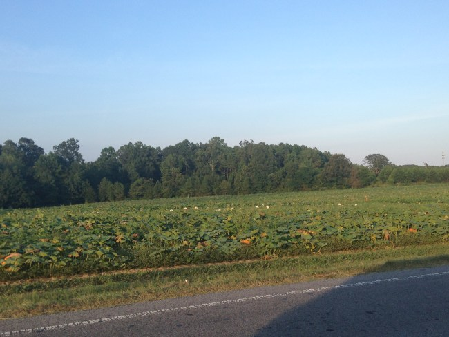 pumpkin field nc