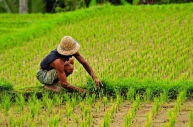 Balinese rice farmer outside Ubud in Bali, Indonesia.