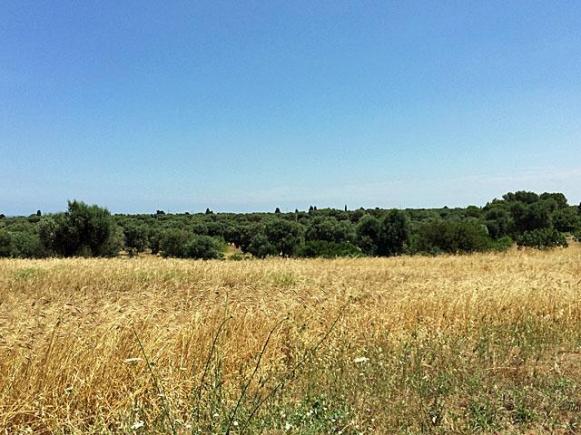 Organical farming surrounds Il Frantoio.