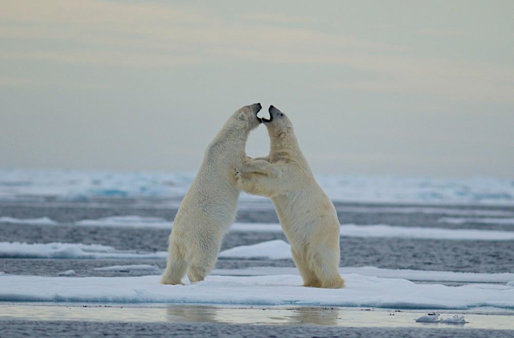 Romantic settings but please do not forget that Polar Bears are predators.