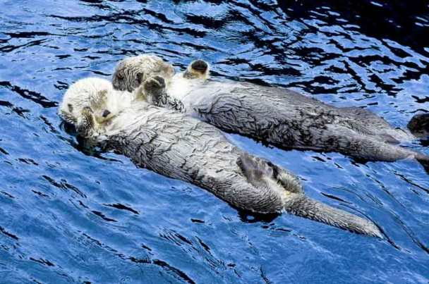 "Sea otters ""holding hands"" at Vancouver Aquarium."
