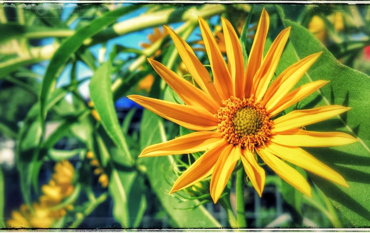 What sunflowers think