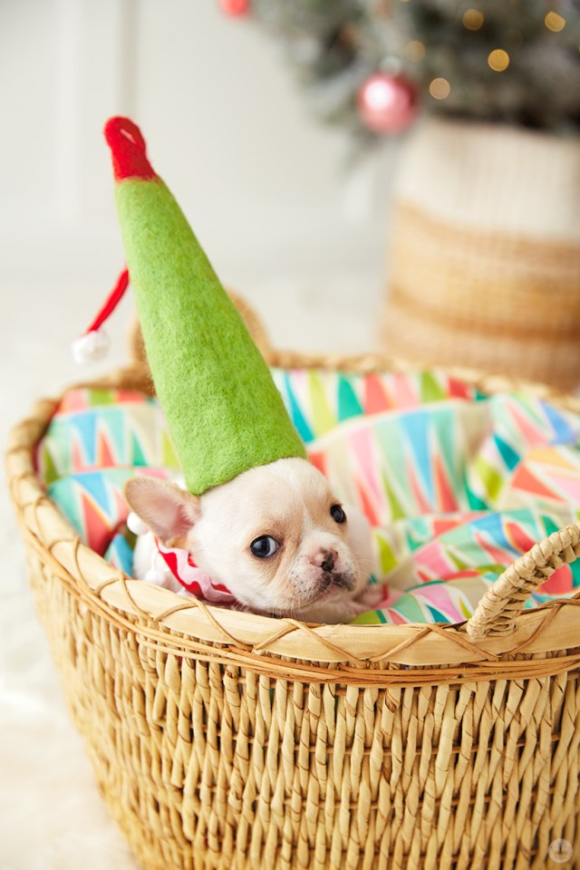 holiday pet photo ideas: pets in hats