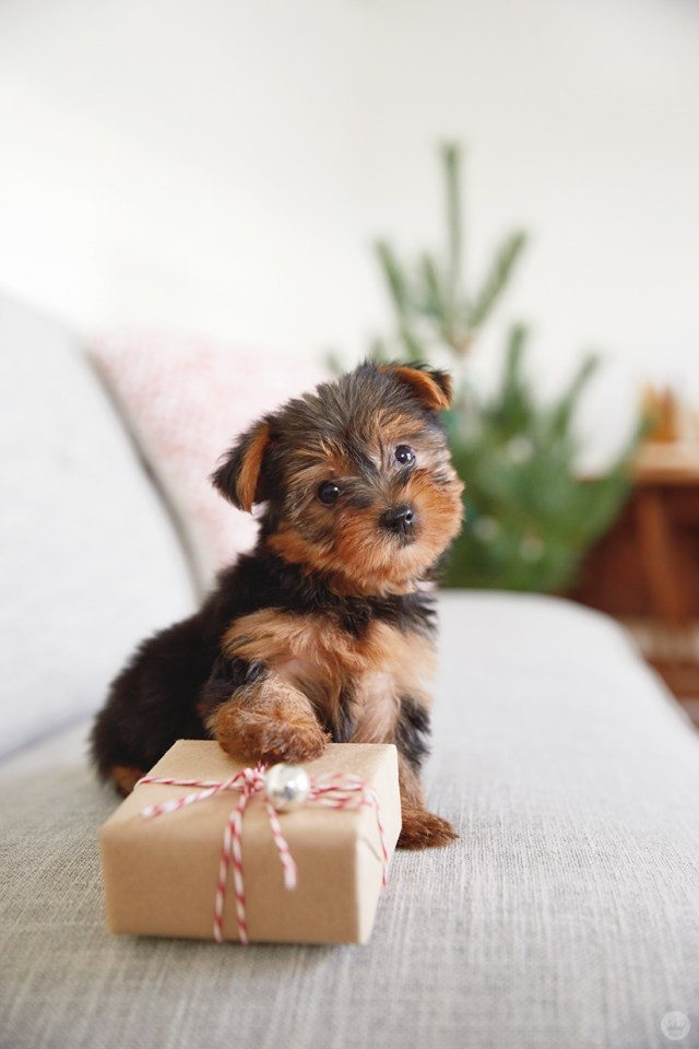holiday pet photo ideas: puppies with presents