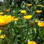 Gardens of orange suns