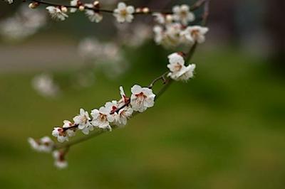 皇子山公園の梅