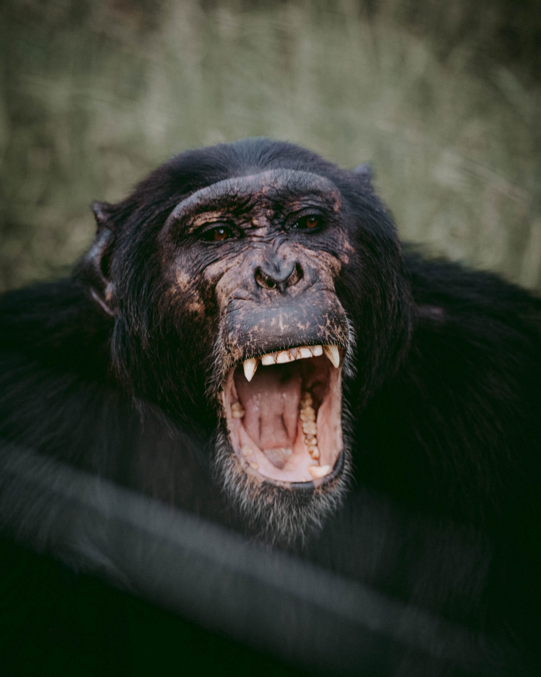 Chimp with mouth open