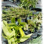 Herbs - thyme, oregano, basil, rosemary and chives www.thisautoimmunelife.com