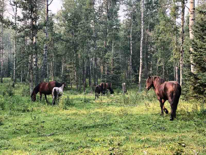 Wild Horses of Alberta Society