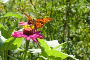 Image of orange and black butterfly on a bright pink flower seen at Chaco Verde Butterfly Farm on Ometepe Island, Nicaragua.