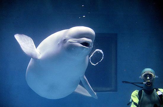 white whale (4)