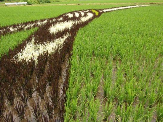 rice-field-close-up-3