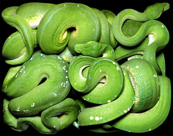 big green snake The Most Dangres Snakes In The World