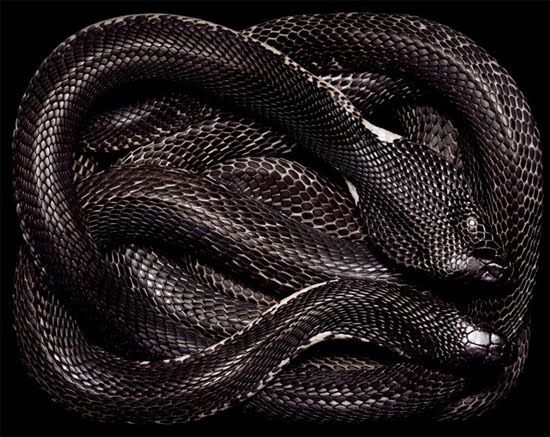 black cobra The Most Dangres Snakes In The World