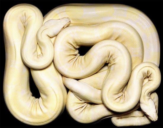 white-phyton