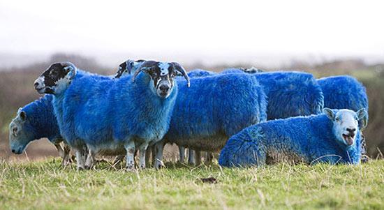 blue-sheeps
