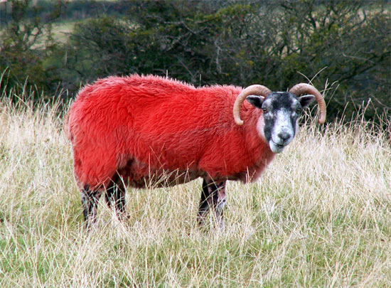 red-sheep-2