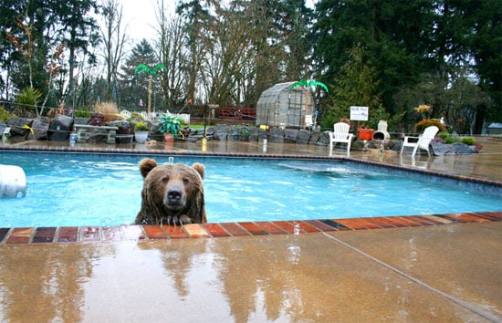 bear-in-pool