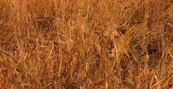lion-camuflage