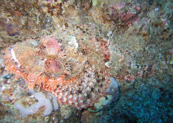 stonefish-camu