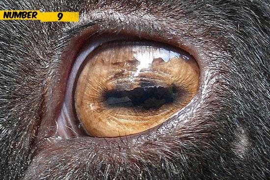 goat-eye