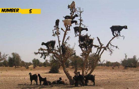 goat-tree