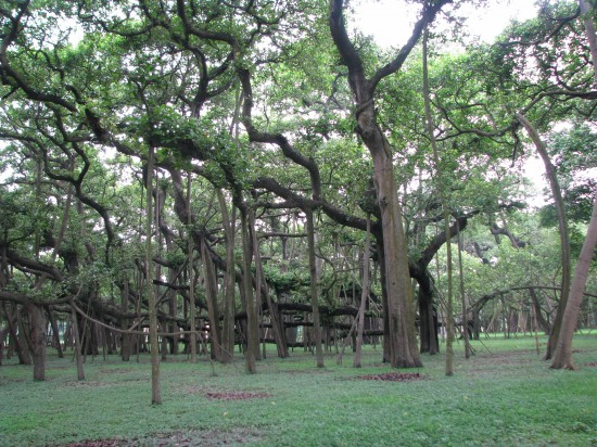 indian banyan