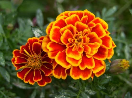 11 Best Edible Flowers from Your Garden6