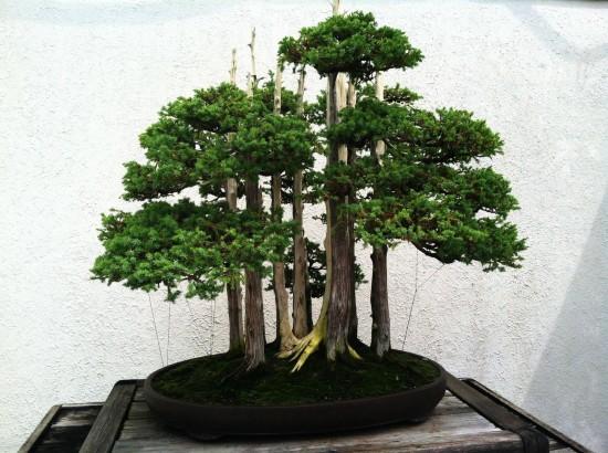 Bonsai 4