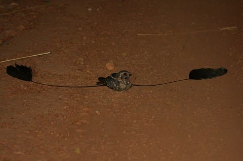standard winged nightaja rweirdest animals