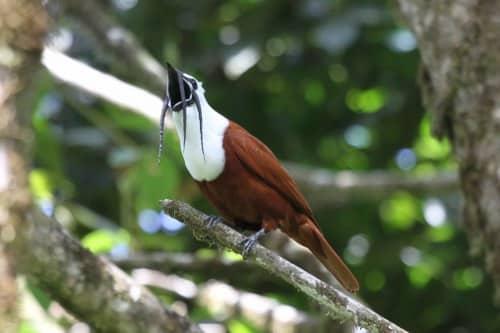 three wattled bellbird weirdest animals