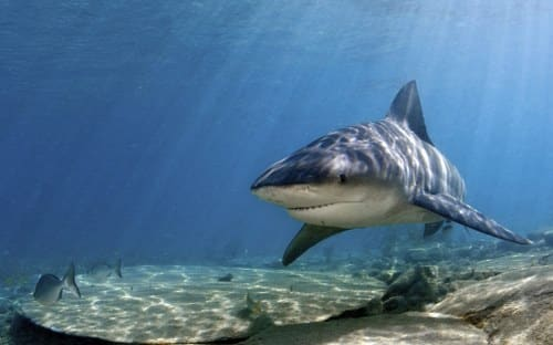 bull shark swimming