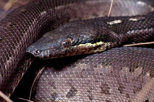 round island boa snake