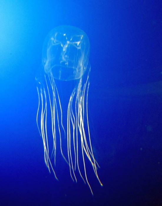 box-jellyfish