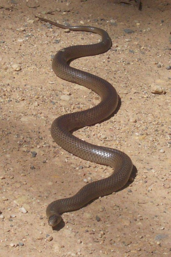 eastern-brown-snake
