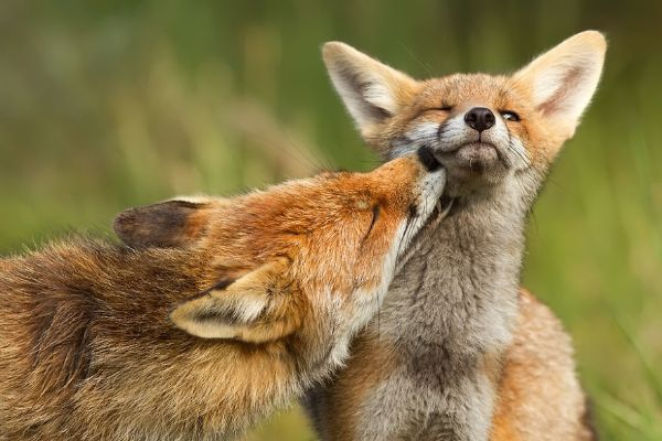 Amazing Facts About Foxes - They're Solitary