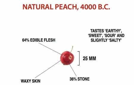 6 Fruits and Vegetables That Looked Way Different Before We Domesticated Them - The Cherry-like Peach