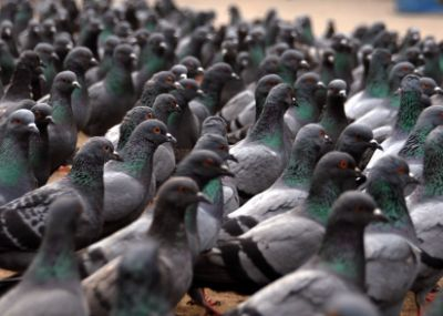 Pigeons - Insane Things Found By Airport Security