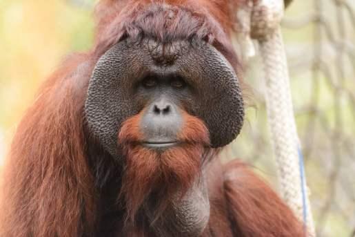 Orangutan with his feirce appearance