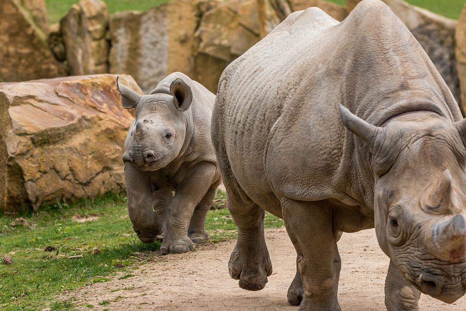 2 rhinos walks and seek for a food