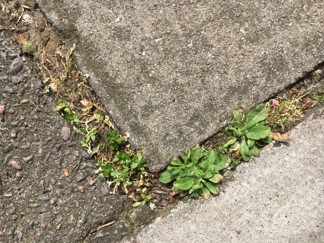 Weeds creeping up between the paving slabs