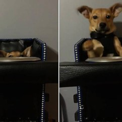 Dog High Chair Iconic Leather Office Special Needs In Plays Peekaboo With Owner This