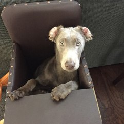 Dog High Chair Design Statement With Rare Condition Is Saved By A Special This Tom And Cori Sullivan Were Adopted Tink Silver Labrador Who Happened To Be The Runt Of Litter When They Visited Breeder In Michigan