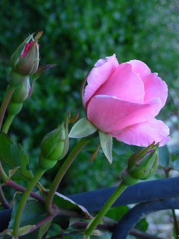 ritas rose