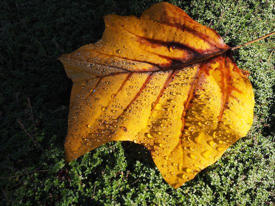 tulip leaf on thyme