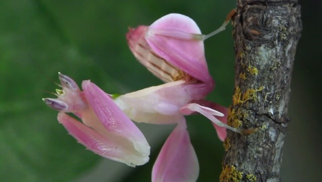 Terrifying Orchid Mantis is Camouflaged to Look Exactly Like a Pink Orchid Flower nature insects flowers camouflage