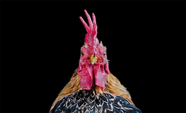 The Bizarre World of Chicken Beauty Pageants Photographed by Ernest Goh chickens birds